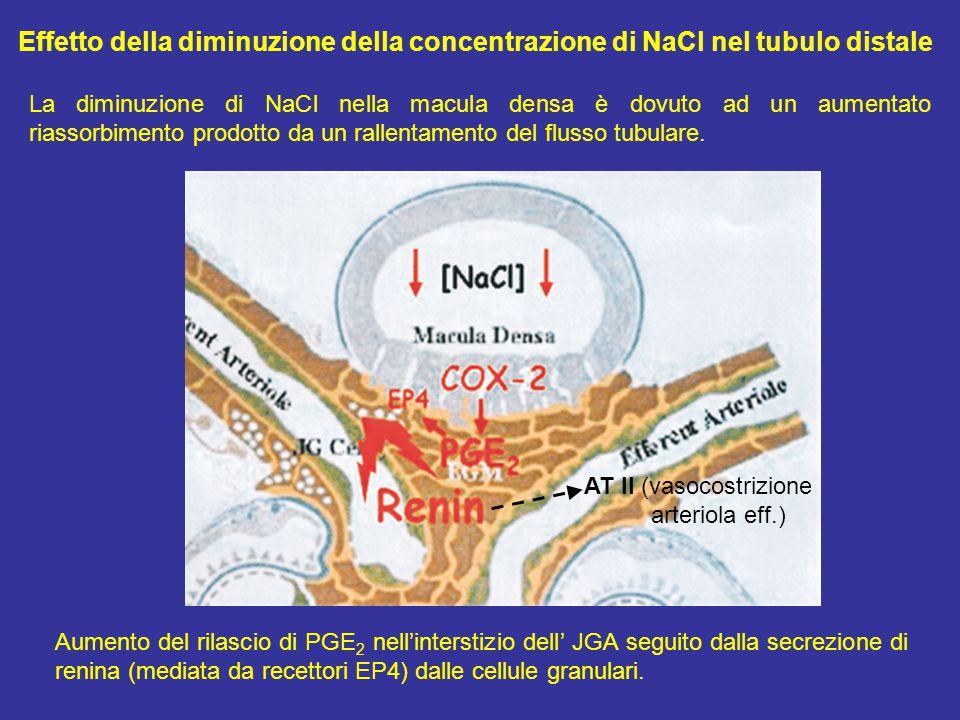 Aumento del rilascio di PGE 2 nell'interstizio dell' JGA seguito dalla secrezione di renina (mediata da recettori EP4) dalle cellule granulari.
