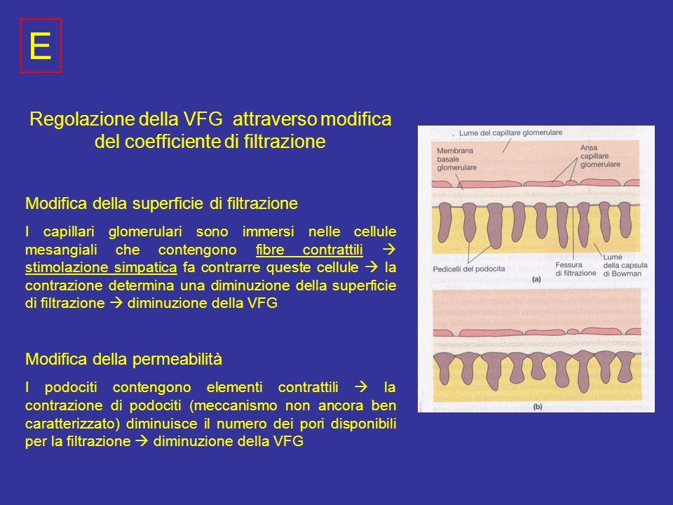 Regolazione della VFG attraverso modifica del coefficiente di filtrazione Modifica della superficie di filtrazione I capillari glomerulari sono immersi nelle cellule mesangiali che contengono fibre contrattili  stimolazione simpatica fa contrarre queste cellule  la contrazione determina una diminuzione della superficie di filtrazione  diminuzione della VFG Modifica della permeabilità I podociti contengono elementi contrattili  la contrazione di podociti (meccanismo non ancora ben caratterizzato) diminuisce il numero dei pori disponibili per la filtrazione  diminuzione della VFG E