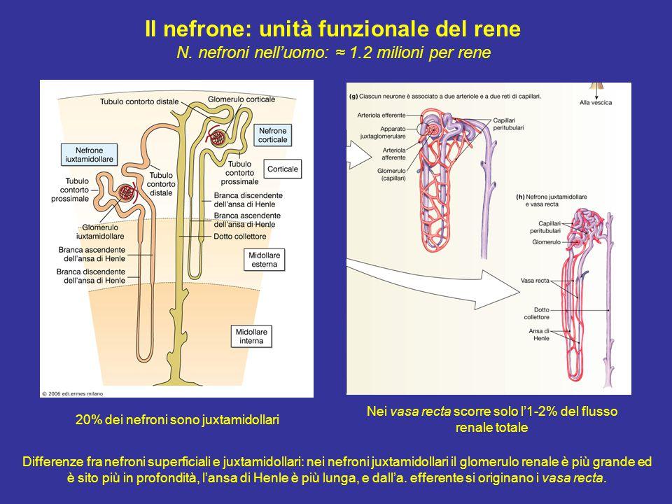 B) Feedback (retroazione) tubulo-glomerulare È mediato da segnali che provengono dal tubulo renale (apparato juxtaglomerulare): i) quando il flusso attraverso il tratto ascendente dell'ansa di Henle aumenta  segnali al glomerulo  diminuzione della VFG; ii) quando il flusso diminuisce  diminuzione della VFG; iii) la macula densa rileva variazioni nella composizione ionica del liquido tubulare (Δ[NaCl]) Apparato juxtaglomerulare Tubulo distale