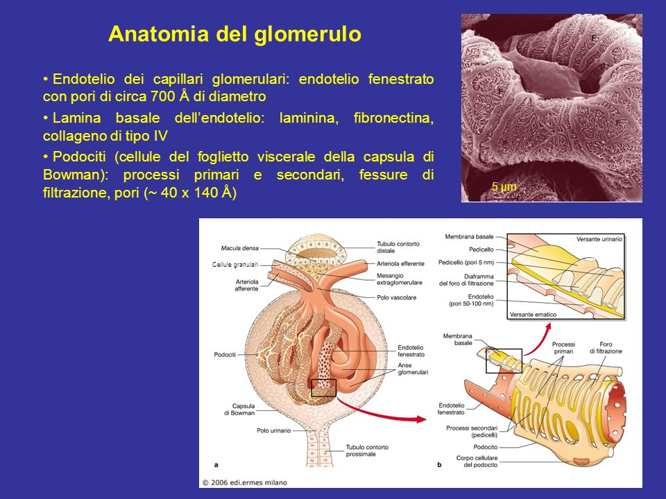 The effect of elevating NaCl at the macula densa is shown schematically to consist of an increase in the levels of adenosine in the juxtaglomerular apparatus (JGA) interstitium and adenosine 1 receptors (A1AR)- mediated constriction of the afferent arteriolar smooth muscle cells.