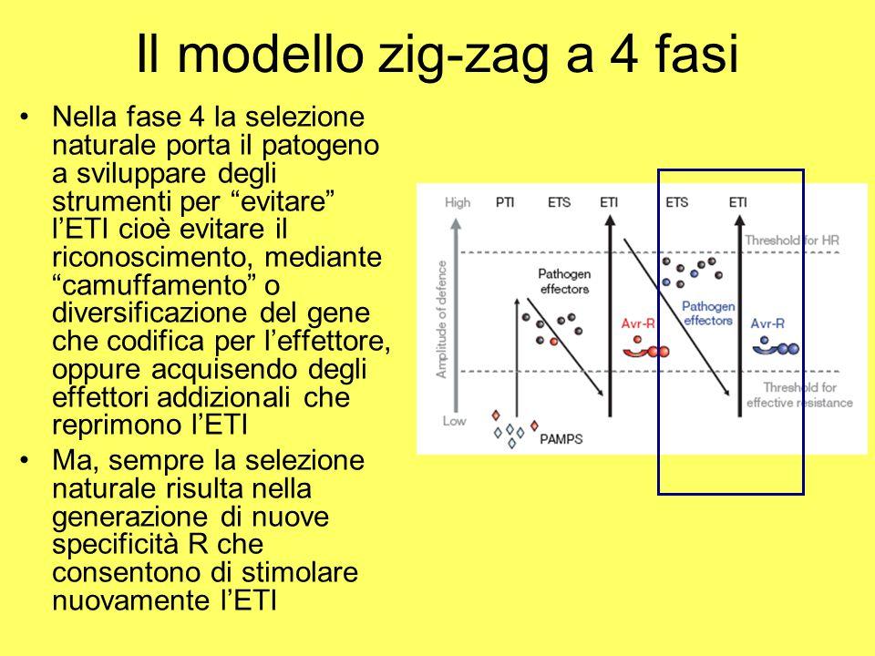 Il modello zig-zag a 4 fasi Nella fase 4 la selezione naturale porta il patogeno a sviluppare degli strumenti per evitare l'ETI cioè evitare il riconoscimento, mediante camuffamento o diversificazione del gene che codifica per l'effettore, oppure acquisendo degli effettori addizionali che reprimono l'ETI Ma, sempre la selezione naturale risulta nella generazione di nuove specificità R che consentono di stimolare nuovamente l'ETI