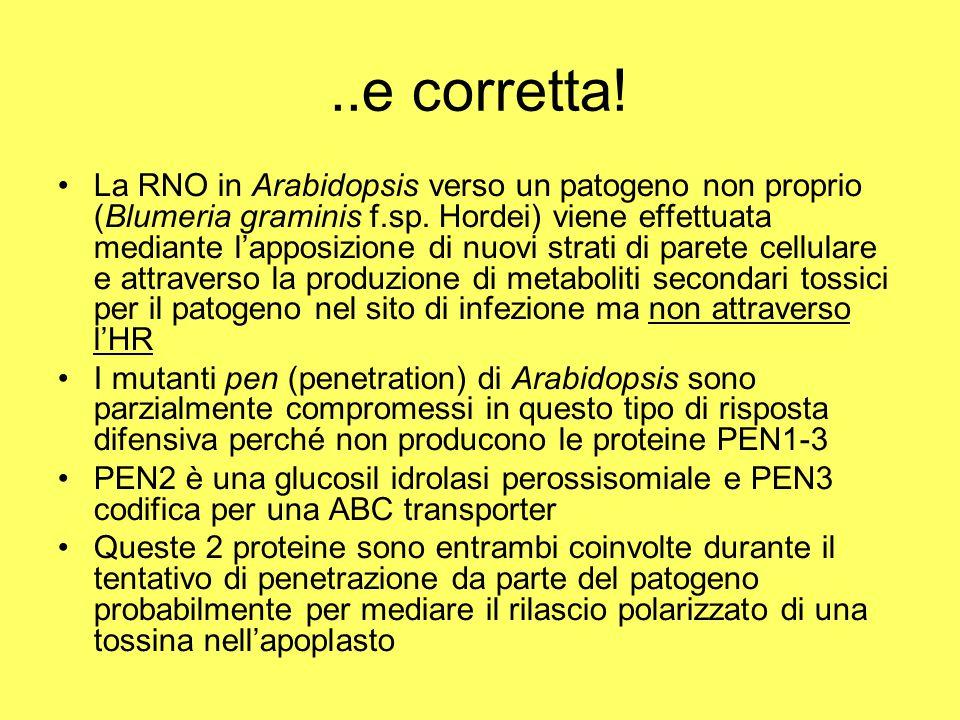 ..e corretta.La RNO in Arabidopsis verso un patogeno non proprio (Blumeria graminis f.sp.