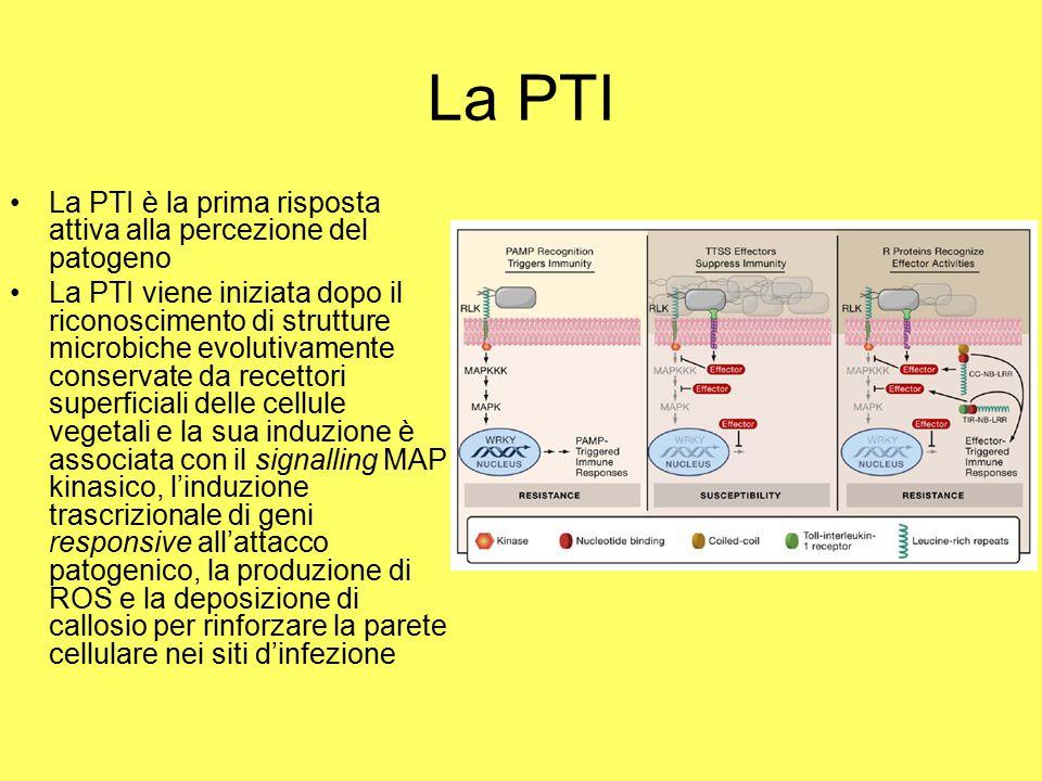 La PTI La PTI è la prima risposta attiva alla percezione del patogeno La PTI viene iniziata dopo il riconoscimento di strutture microbiche evolutivamente conservate da recettori superficiali delle cellule vegetali e la sua induzione è associata con il signalling MAP kinasico, l'induzione trascrizionale di geni responsive all'attacco patogenico, la produzione di ROS e la deposizione di callosio per rinforzare la parete cellulare nei siti d'infezione