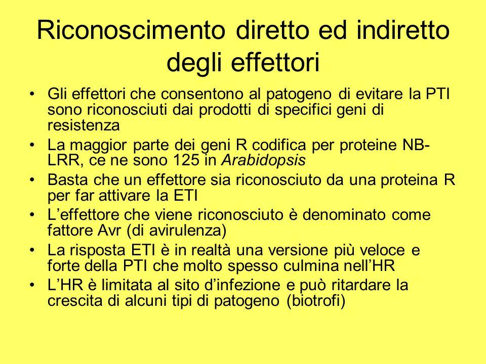 Riconoscimento diretto ed indiretto degli effettori Gli effettori che consentono al patogeno di evitare la PTI sono riconosciuti dai prodotti di speci