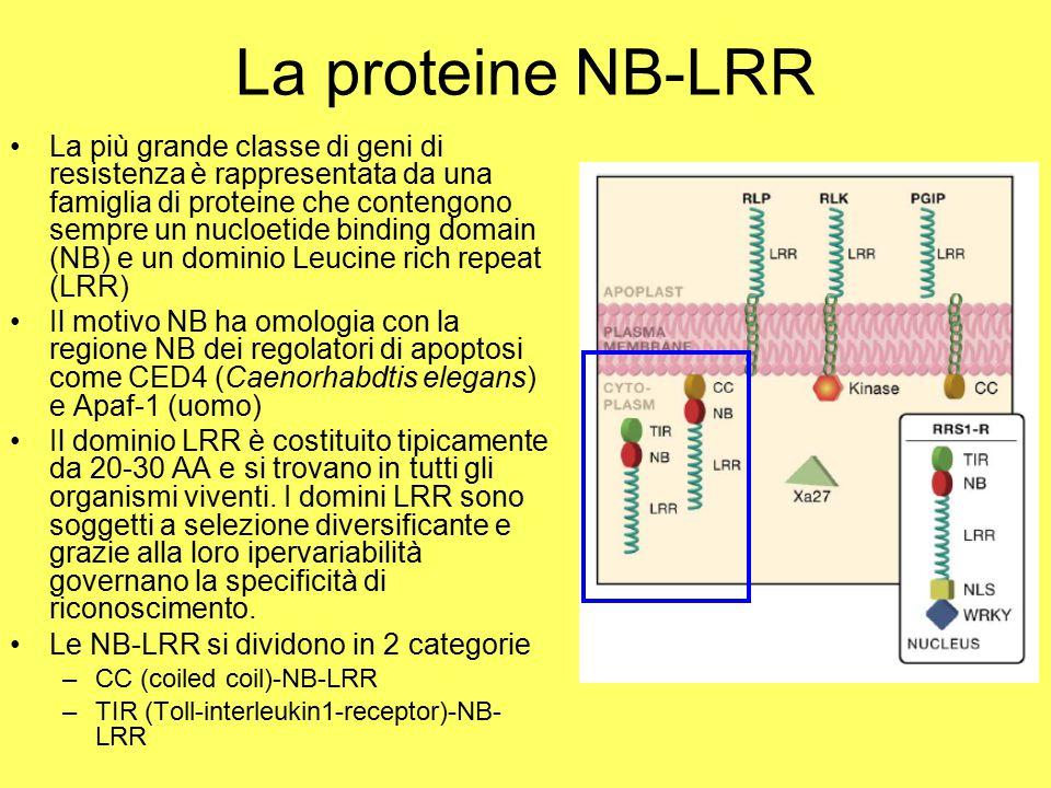 La proteine NB-LRR La più grande classe di geni di resistenza è rappresentata da una famiglia di proteine che contengono sempre un nucloetide binding domain (NB) e un dominio Leucine rich repeat (LRR) Il motivo NB ha omologia con la regione NB dei regolatori di apoptosi come CED4 (Caenorhabdtis elegans) e Apaf-1 (uomo) Il dominio LRR è costituito tipicamente da 20-30 AA e si trovano in tutti gli organismi viventi.