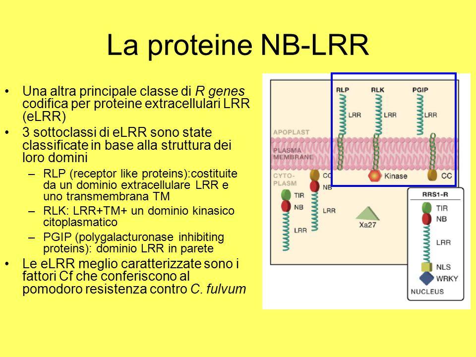 La proteine NB-LRR Una altra principale classe di R genes codifica per proteine extracellulari LRR (eLRR) 3 sottoclassi di eLRR sono state classificate in base alla struttura dei loro domini –RLP (receptor like proteins):costituite da un dominio extracellulare LRR e uno transmembrana TM –RLK: LRR+TM+ un dominio kinasico citoplasmatico –PGIP (polygalacturonase inhibiting proteins): dominio LRR in parete Le eLRR meglio caratterizzate sono i fattori Cf che conferiscono al pomodoro resistenza contro C.
