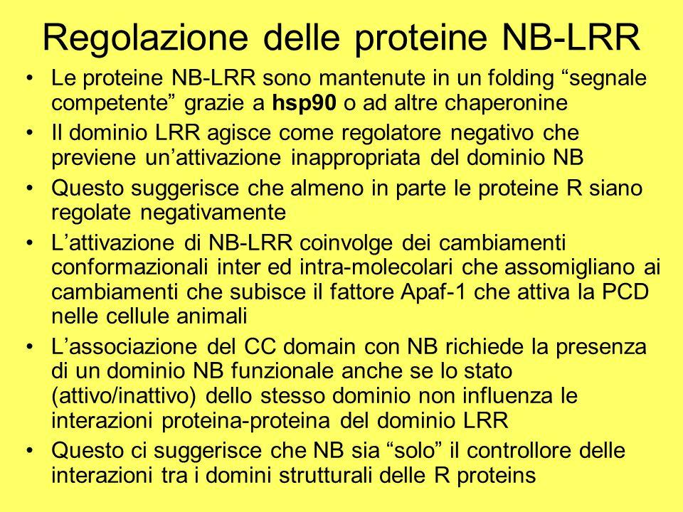 """Regolazione delle proteine NB-LRR Le proteine NB-LRR sono mantenute in un folding """"segnale competente"""" grazie a hsp90 o ad altre chaperonine Il domini"""