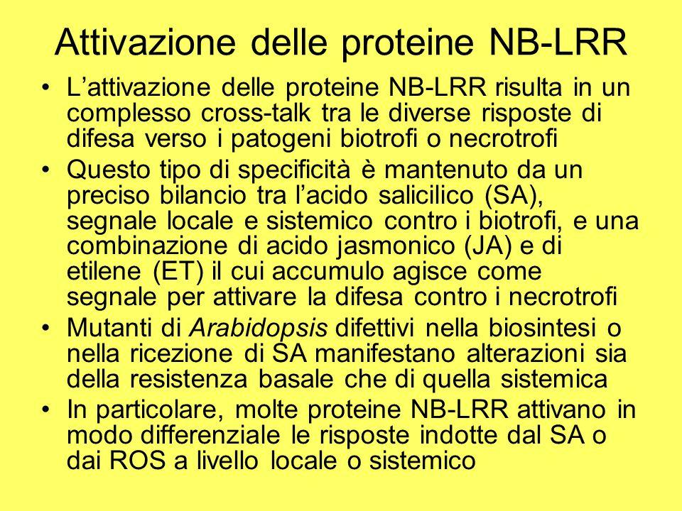 Attivazione delle proteine NB-LRR L'attivazione delle proteine NB-LRR risulta in un complesso cross-talk tra le diverse risposte di difesa verso i patogeni biotrofi o necrotrofi Questo tipo di specificità è mantenuto da un preciso bilancio tra l'acido salicilico (SA), segnale locale e sistemico contro i biotrofi, e una combinazione di acido jasmonico (JA) e di etilene (ET) il cui accumulo agisce come segnale per attivare la difesa contro i necrotrofi Mutanti di Arabidopsis difettivi nella biosintesi o nella ricezione di SA manifestano alterazioni sia della resistenza basale che di quella sistemica In particolare, molte proteine NB-LRR attivano in modo differenziale le risposte indotte dal SA o dai ROS a livello locale o sistemico