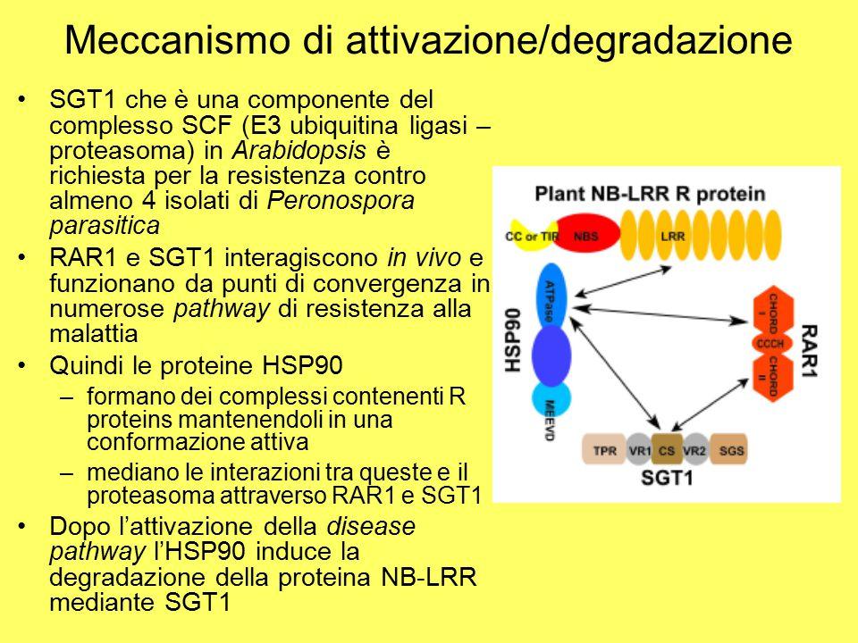 Meccanismo di attivazione/degradazione SGT1 che è una componente del complesso SCF (E3 ubiquitina ligasi – proteasoma) in Arabidopsis è richiesta per la resistenza contro almeno 4 isolati di Peronospora parasitica RAR1 e SGT1 interagiscono in vivo e funzionano da punti di convergenza in numerose pathway di resistenza alla malattia Quindi le proteine HSP90 –formano dei complessi contenenti R proteins mantenendoli in una conformazione attiva –mediano le interazioni tra queste e il proteasoma attraverso RAR1 e SGT1 Dopo l'attivazione della disease pathway l'HSP90 induce la degradazione della proteina NB-LRR mediante SGT1
