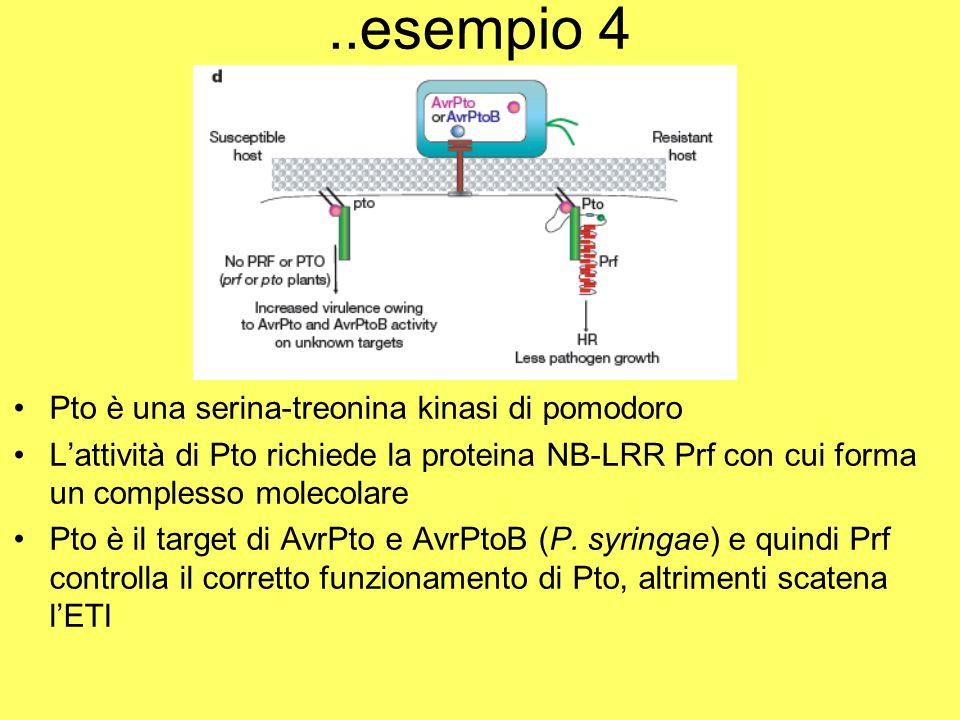 ..esempio 4 Pto è una serina-treonina kinasi di pomodoro L'attività di Pto richiede la proteina NB-LRR Prf con cui forma un complesso molecolare Pto è il target di AvrPto e AvrPtoB (P.