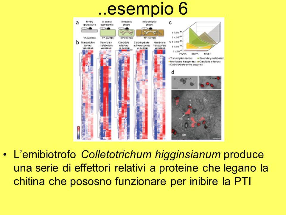..esempio 6 L'emibiotrofo Colletotrichum higginsianum produce una serie di effettori relativi a proteine che legano la chitina che pososno funzionare per inibire la PTI