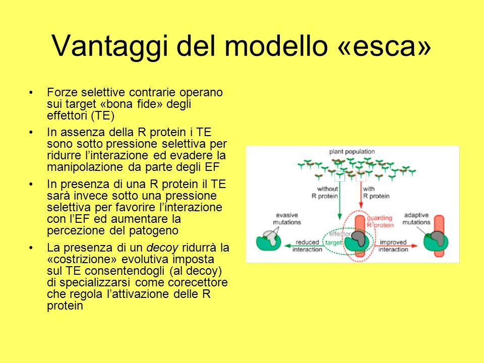 Vantaggi del modello «esca» Forze selettive contrarie operano sui target «bona fide» degli effettori (TE) In assenza della R protein i TE sono sotto pressione selettiva per ridurre l'interazione ed evadere la manipolazione da parte degli EF In presenza di una R protein il TE sarà invece sotto una pressione selettiva per favorire l'interazione con l'EF ed aumentare la percezione del patogeno La presenza di un decoy ridurrà la «costrizione» evolutiva imposta sul TE consentendogli (al decoy) di specializzarsi come corecettore che regola l'attivazione delle R protein