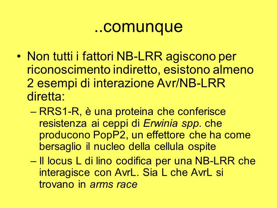 ..comunque Non tutti i fattori NB-LRR agiscono per riconoscimento indiretto, esistono almeno 2 esempi di interazione Avr/NB-LRR diretta: –RRS1-R, è una proteina che conferisce resistenza ai ceppi di Erwinia spp.