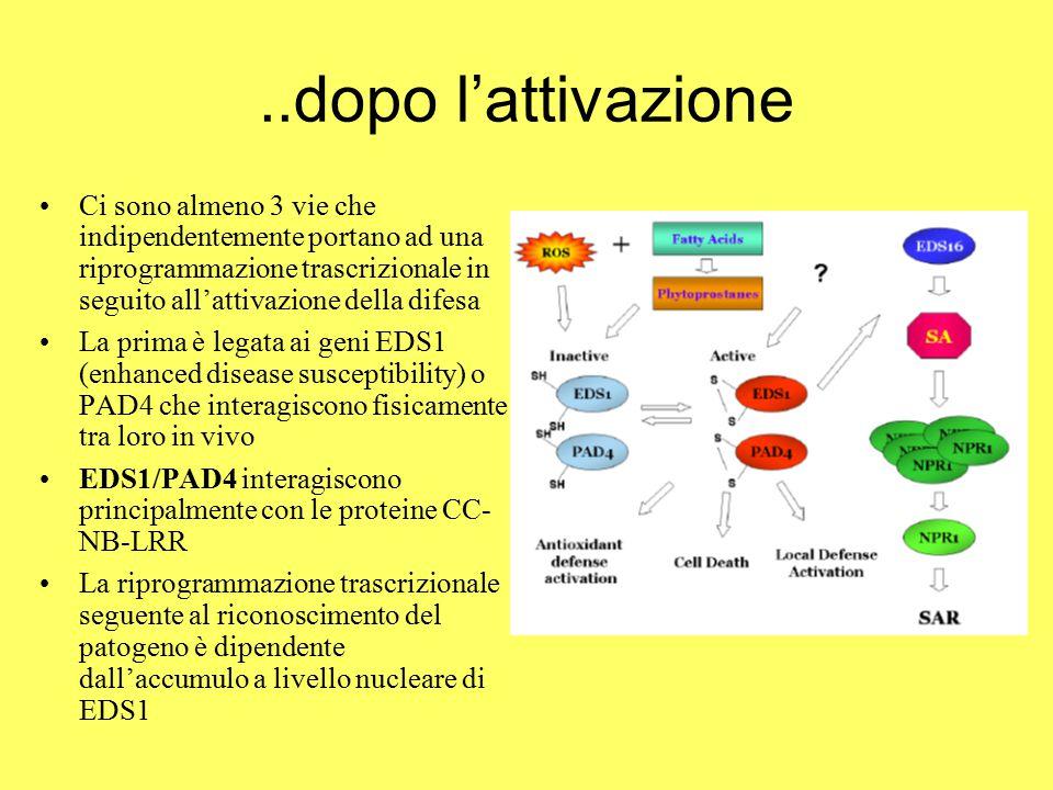 ..dopo l'attivazione Ci sono almeno 3 vie che indipendentemente portano ad una riprogrammazione trascrizionale in seguito all'attivazione della difesa La prima è legata ai geni EDS1 (enhanced disease susceptibility) o PAD4 che interagiscono fisicamente tra loro in vivo EDS1/PAD4 interagiscono principalmente con le proteine CC- NB-LRR La riprogrammazione trascrizionale seguente al riconoscimento del patogeno è dipendente dall'accumulo a livello nucleare di EDS1