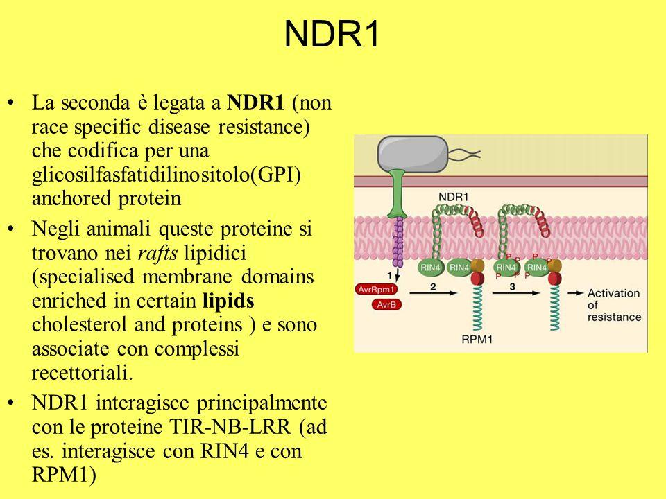 NDR1 La seconda è legata a NDR1 (non race specific disease resistance) che codifica per una glicosilfasfatidilinositolo(GPI) anchored protein Negli animali queste proteine si trovano nei rafts lipidici (specialised membrane domains enriched in certain lipids cholesterol and proteins ) e sono associate con complessi recettoriali.