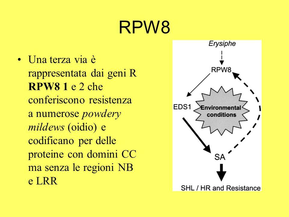 RPW8 Una terza via è rappresentata dai geni R RPW8 1 e 2 che conferiscono resistenza a numerose powdery mildews (oidio) e codificano per delle proteine con domini CC ma senza le regioni NB e LRR