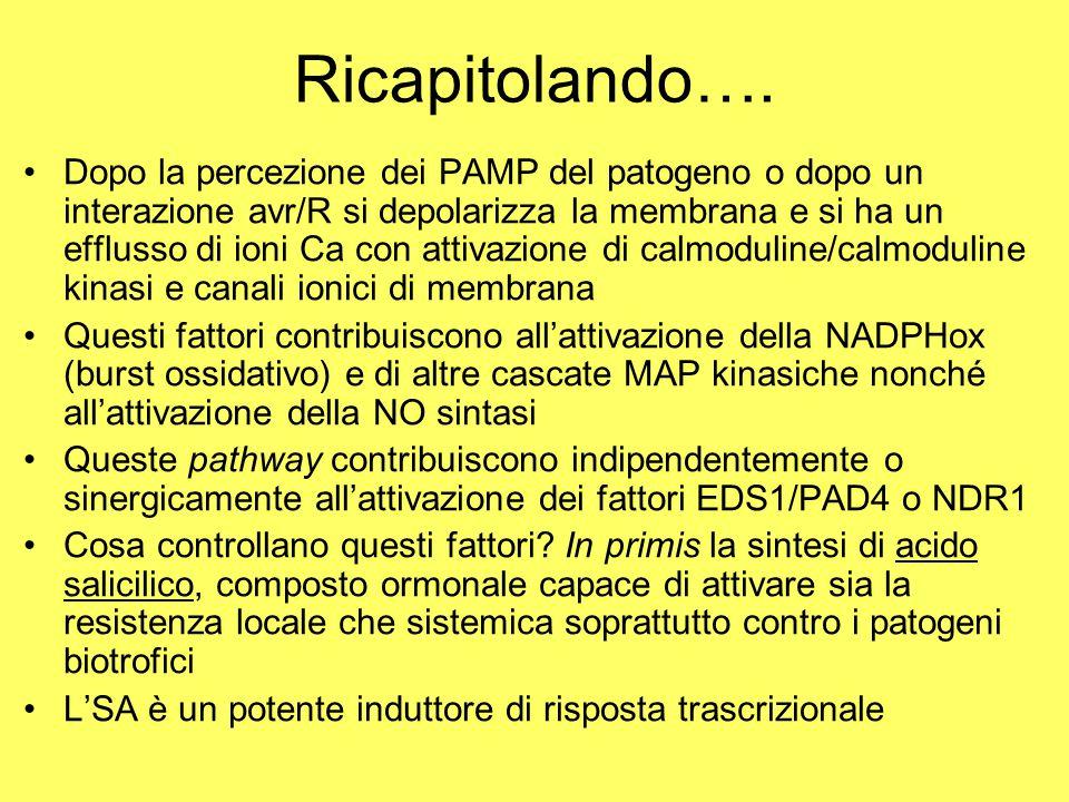 Ricapitolando…. Dopo la percezione dei PAMP del patogeno o dopo un interazione avr/R si depolarizza la membrana e si ha un efflusso di ioni Ca con att
