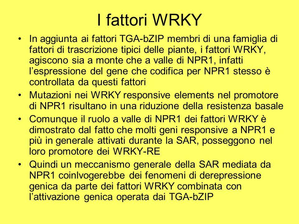 I fattori WRKY In aggiunta ai fattori TGA-bZIP membri di una famiglia di fattori di trascrizione tipici delle piante, i fattori WRKY, agiscono sia a monte che a valle di NPR1, infatti l'espressione del gene che codifica per NPR1 stesso è controllata da questi fattori Mutazioni nei WRKY responsive elements nel promotore di NPR1 risultano in una riduzione della resistenza basale Comunque il ruolo a valle di NPR1 dei fattori WRKY è dimostrato dal fatto che molti geni responsive a NPR1 e più in generale attivati durante la SAR, posseggono nel loro promotore dei WRKY-RE Quindi un meccanismo generale della SAR mediata da NPR1 coinlvogerebbe dei fenomeni di derepressione genica da parte dei fattori WRKY combinata con l'attivazione genica operata dai TGA-bZIP