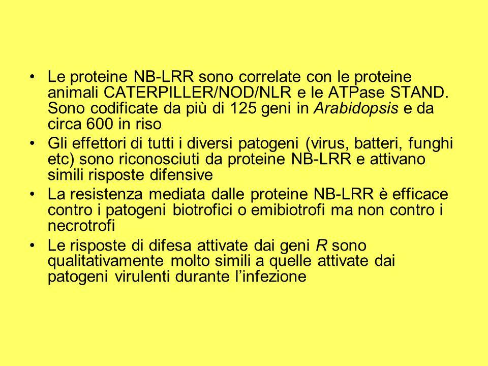 Regolazione delle proteine NB-LRR Le proteine NB-LRR sono mantenute in un folding segnale competente grazie a hsp90 o ad altre chaperonine Il dominio LRR agisce come regolatore negativo che previene un'attivazione inappropriata del dominio NB Questo suggerisce che almeno in parte le proteine R siano regolate negativamente L'attivazione di NB-LRR coinvolge dei cambiamenti conformazionali inter ed intra-molecolari che assomigliano ai cambiamenti che subisce il fattore Apaf-1 che attiva la PCD nelle cellule animali L'associazione del CC domain con NB richiede la presenza di un dominio NB funzionale anche se lo stato (attivo/inattivo) dello stesso dominio non influenza le interazioni proteina-proteina del dominio LRR Questo ci suggerisce che NB sia solo il controllore delle interazioni tra i domini strutturali delle R proteins
