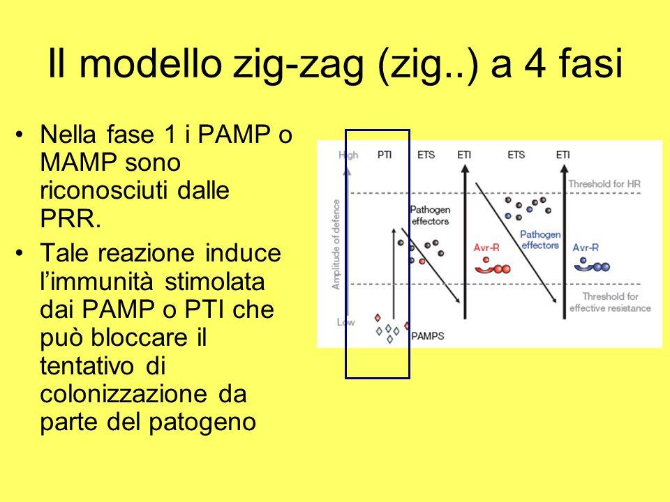 Il modello zig-zag (zig..) a 4 fasi Nella fase 1 i PAMP o MAMP sono riconosciuti dalle PRR. Tale reazione induce l'immunità stimolata dai PAMP o PTI c