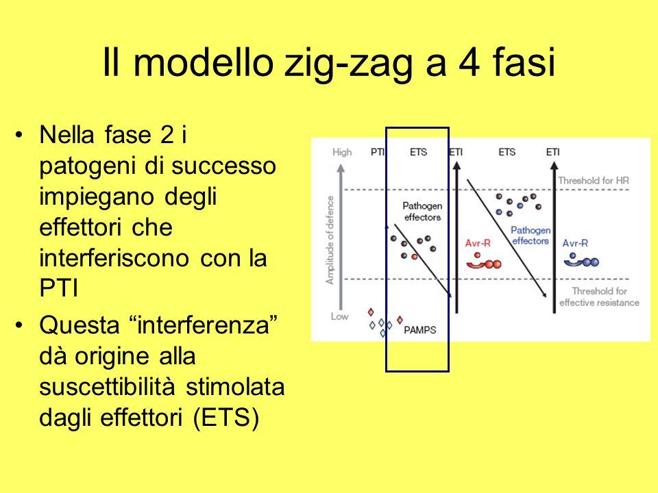 """Il modello zig-zag a 4 fasi Nella fase 2 i patogeni di successo impiegano degli effettori che interferiscono con la PTI Questa """"interferenza"""" dà origi"""