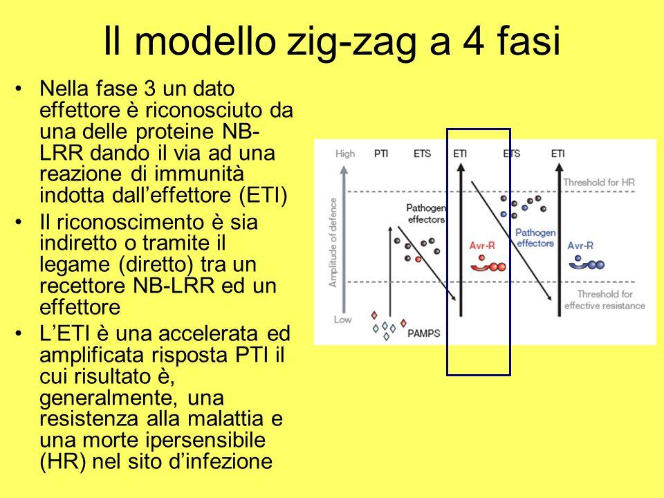 Il modello zig-zag a 4 fasi Nella fase 3 un dato effettore è riconosciuto da una delle proteine NB- LRR dando il via ad una reazione di immunità indotta dall'effettore (ETI) Il riconoscimento è sia indiretto o tramite il legame (diretto) tra un recettore NB-LRR ed un effettore L'ETI è una accelerata ed amplificata risposta PTI il cui risultato è, generalmente, una resistenza alla malattia e una morte ipersensibile (HR) nel sito d'infezione