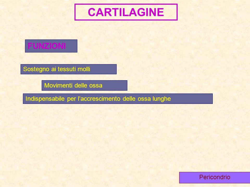 CARTILAGINE FUNZIONI Sostegno ai tessuti molli Movimenti delle ossa Indispensabile per l'accrescimento delle ossa lunghe Pericondrio