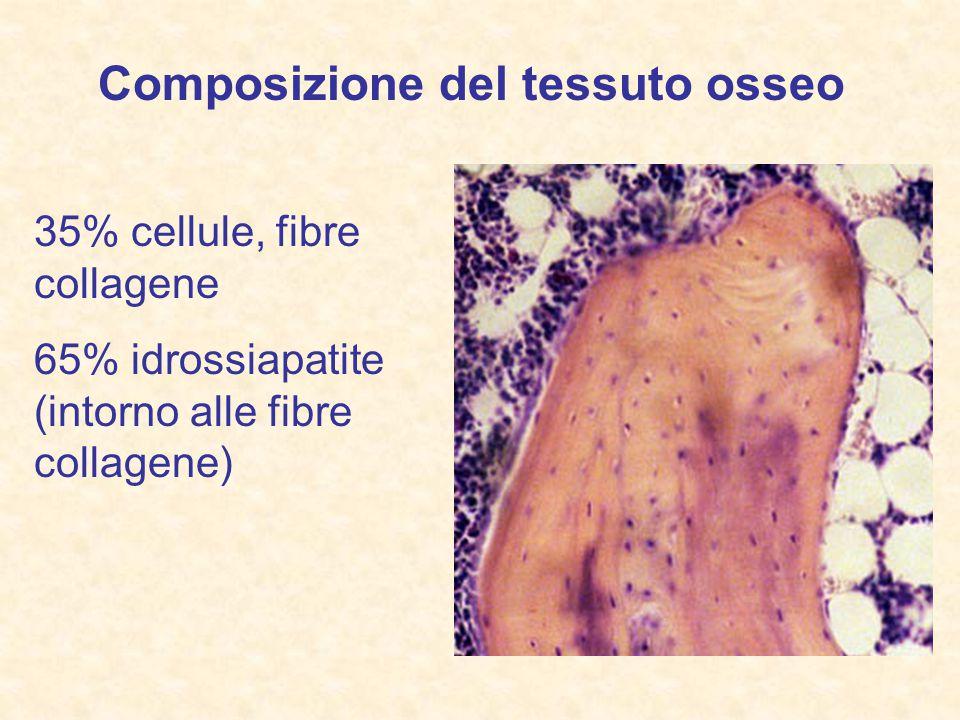 35% cellule, fibre collagene 65% idrossiapatite (intorno alle fibre collagene) Composizione del tessuto osseo