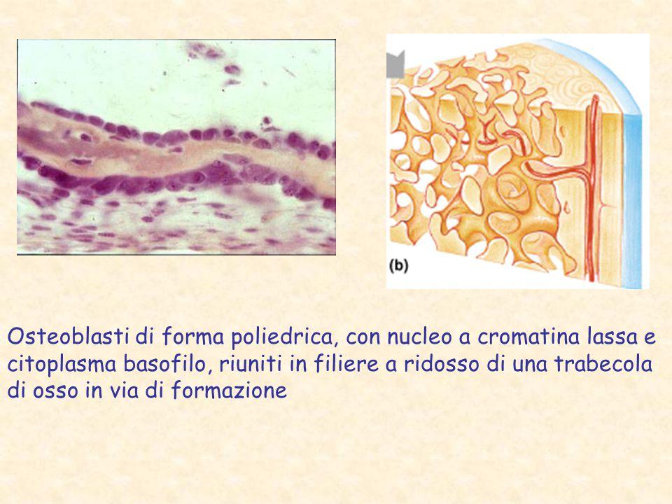 Osteoblasti di forma poliedrica, con nucleo a cromatina lassa e citoplasma basofilo, riuniti in filiere a ridosso di una trabecola di osso in via di f