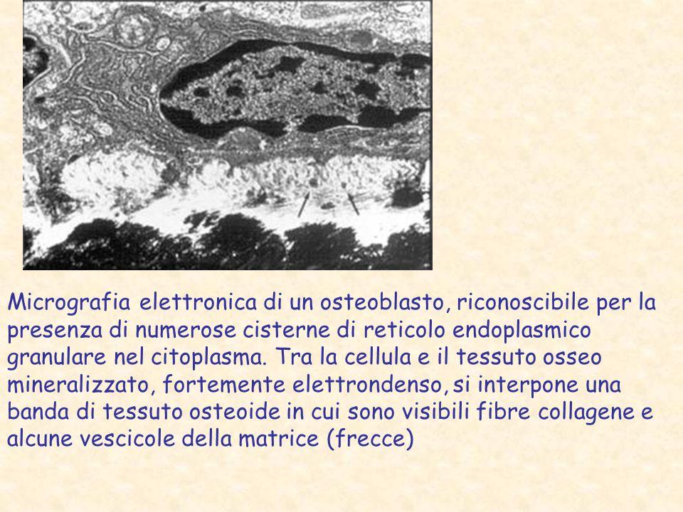 Micrografia elettronica di un osteoblasto, riconoscibile per la presenza di numerose cisterne di reticolo endoplasmico granulare nel citoplasma. Tra l
