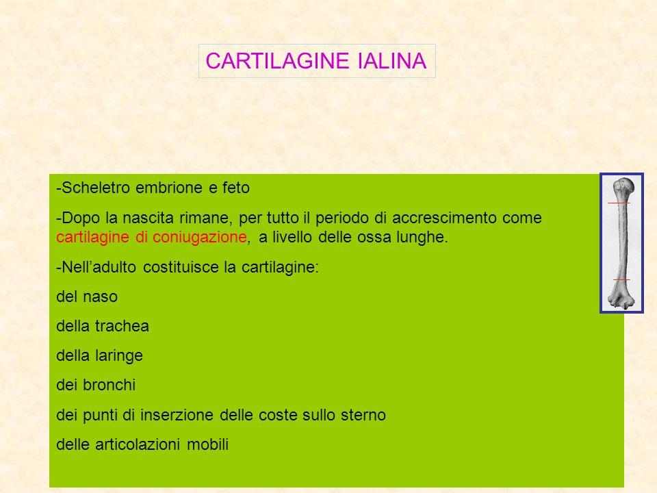 CARTILAGINE IALINA -Scheletro embrione e feto -Dopo la nascita rimane, per tutto il periodo di accrescimento come cartilagine di coniugazione, a livel
