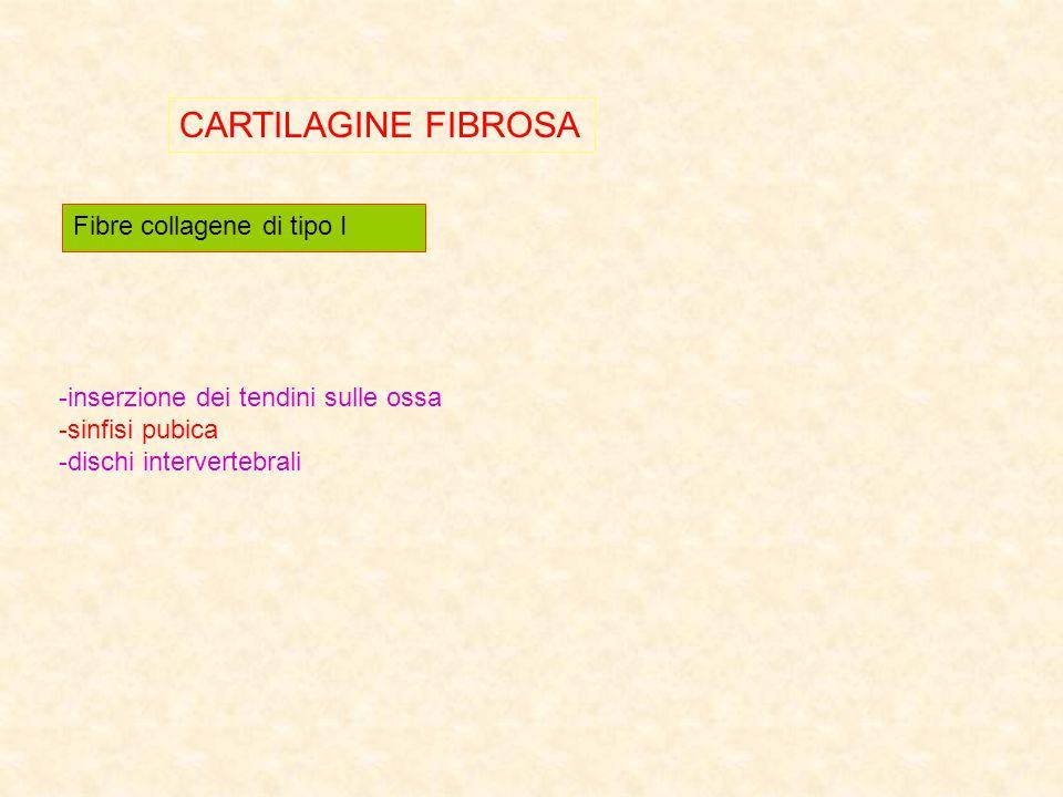 CARTILAGINE FIBROSA Fibre collagene di tipo I -inserzione dei tendini sulle ossa -sinfisi pubica -dischi intervertebrali