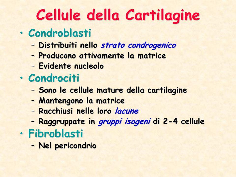 Cellule della Cartilagine CondroblastiCondroblasti –Distribuiti nello strato condrogenico –Producono attivamente la matrice –Evidente nucleolo Condroc