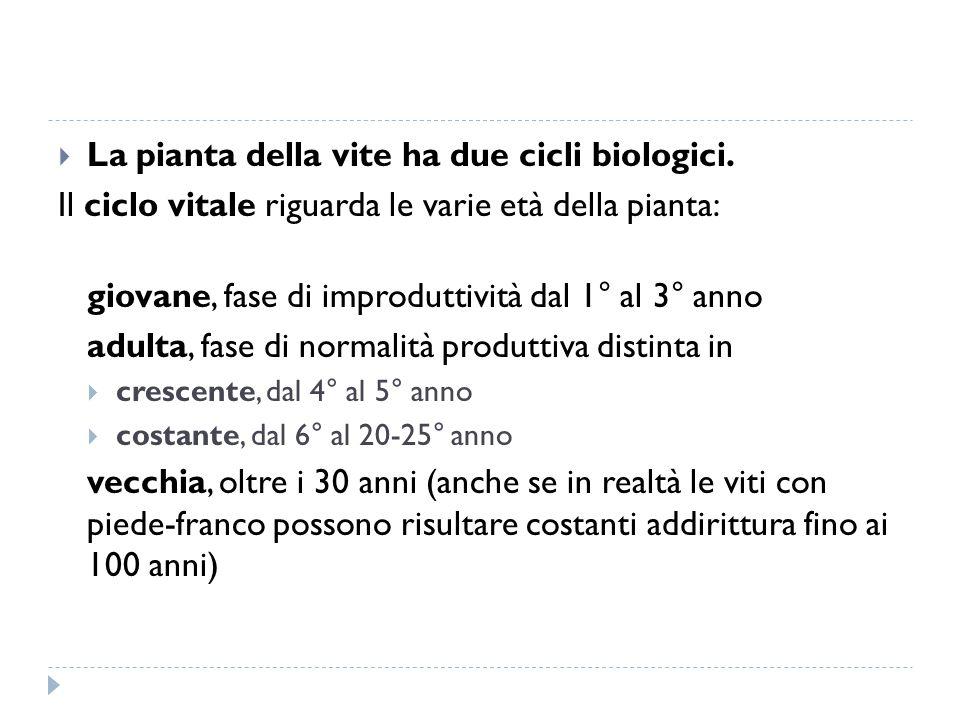  La pianta della vite ha due cicli biologici. Il ciclo vitale riguarda le varie età della pianta: giovane, fase di improduttività dal 1° al 3° anno a