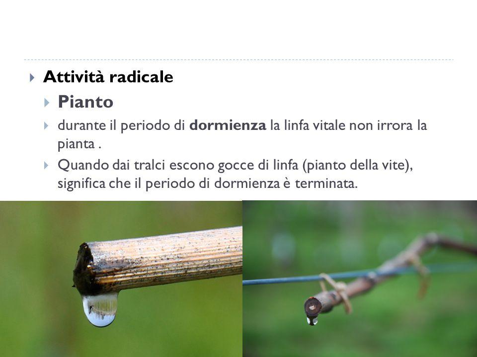  Attività radicale  Pianto  durante il periodo di dormienza la linfa vitale non irrora la pianta.  Quando dai tralci escono gocce di linfa (pianto