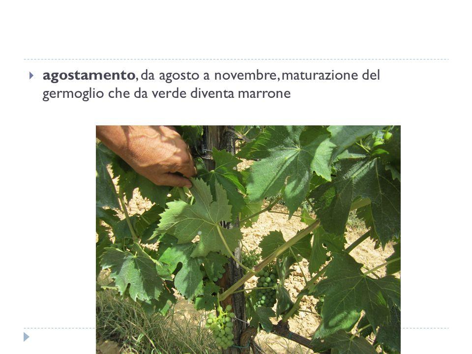  agostamento, da agosto a novembre, maturazione del germoglio che da verde diventa marrone