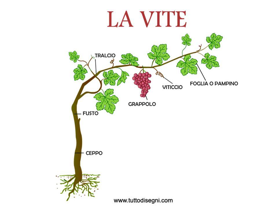  La vite è una pianta rampicante della famiglia delle ampelidacee o vitacee che a sua volta appartiene dell ordine dei rhamnales.