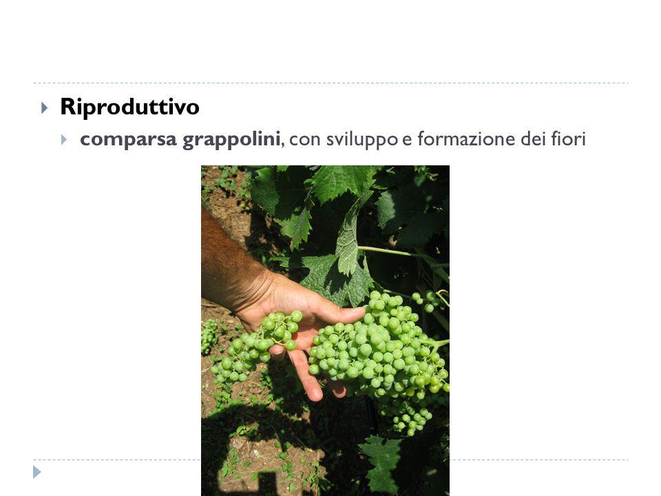  Riproduttivo  comparsa grappolini, con sviluppo e formazione dei fiori