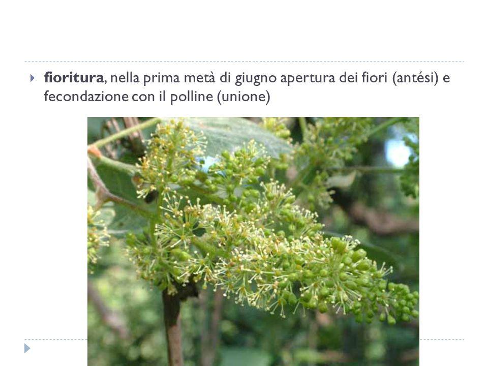  fioritura, nella prima metà di giugno apertura dei fiori (antési) e fecondazione con il polline (unione)