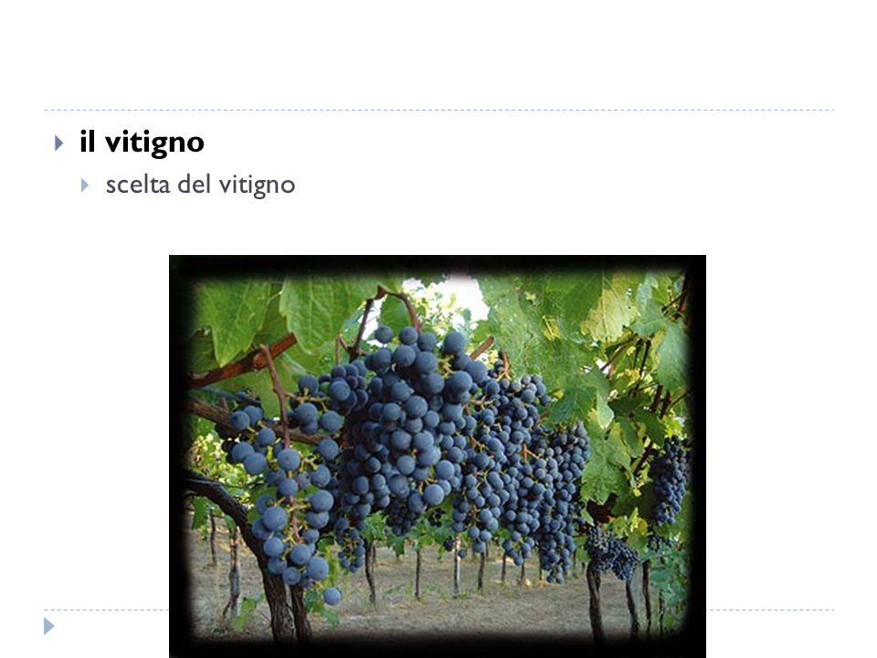  il vitigno  scelta del vitigno