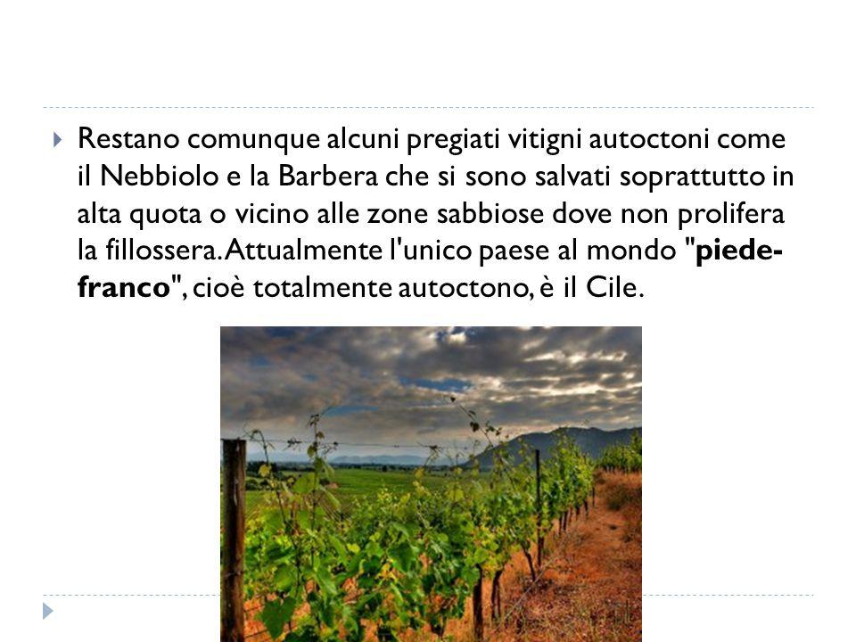  Restano comunque alcuni pregiati vitigni autoctoni come il Nebbiolo e la Barbera che si sono salvati soprattutto in alta quota o vicino alle zone sa