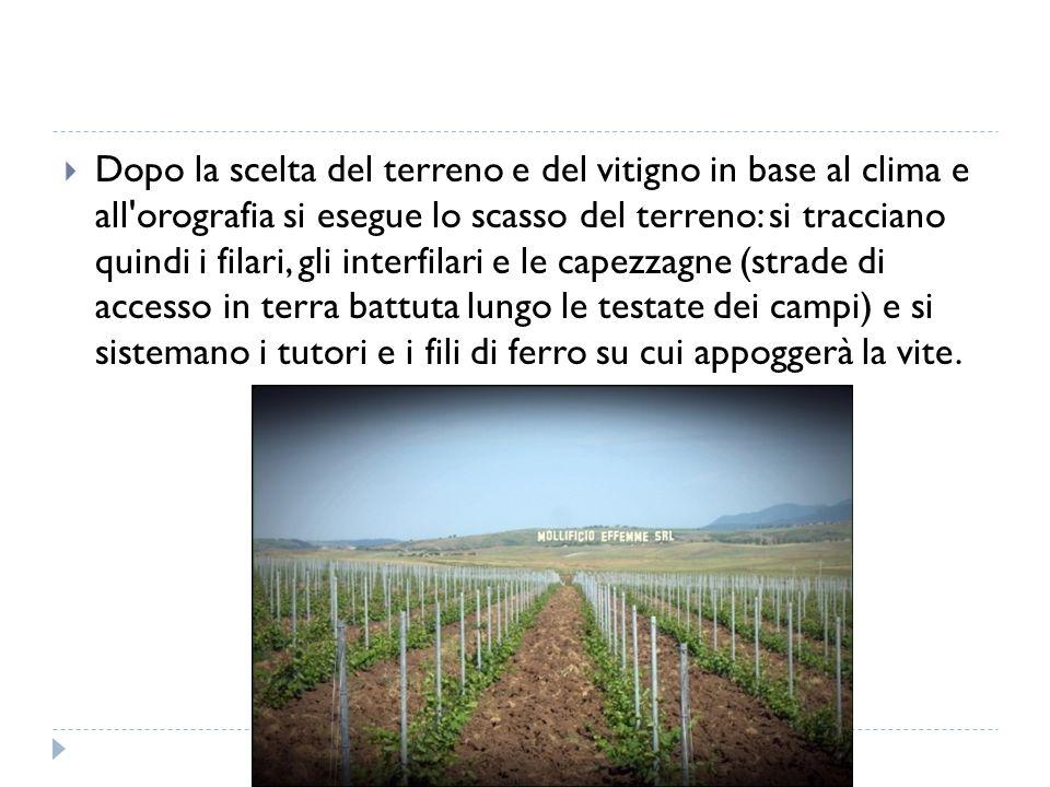  Dopo la scelta del terreno e del vitigno in base al clima e all'orografia si esegue lo scasso del terreno: si tracciano quindi i filari, gli interfi