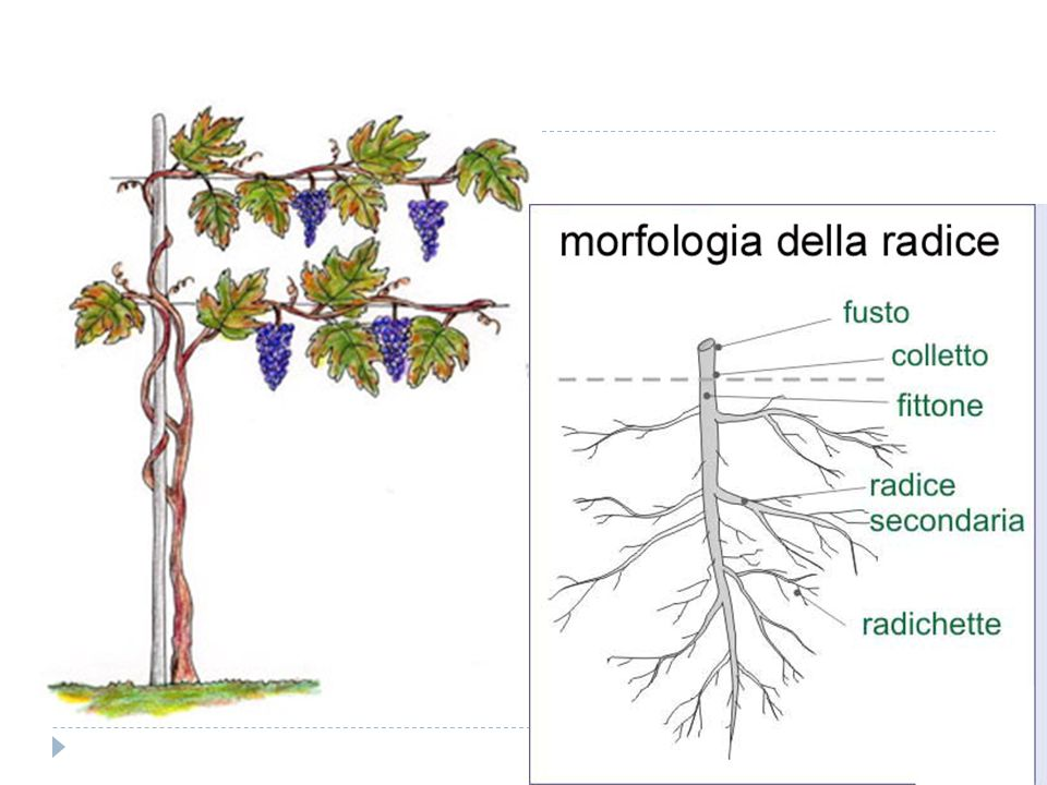  L ultimo parametro da prendere in considerazione è dato dal microclima che è determinato dal sistema di potatura, dall inerbimento del terreno, dalla distanza tra le piante, la distanza tra i filari e la distanza delle piante dal terreno.