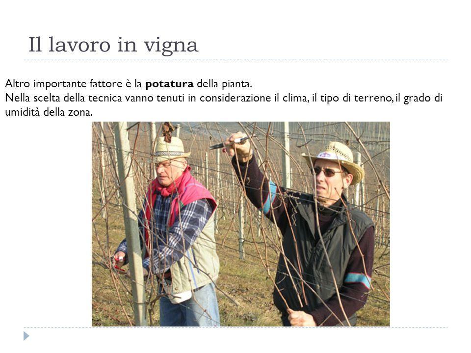 Il lavoro in vigna Altro importante fattore è la potatura della pianta. Nella scelta della tecnica vanno tenuti in considerazione il clima, il tipo di