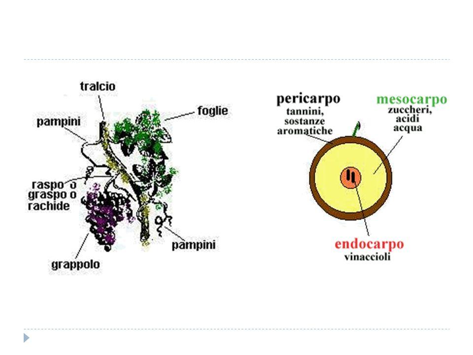  PERGOLA: sotto questo nome vanno numerose forme di allevamento che si differenziano da regione a regione.