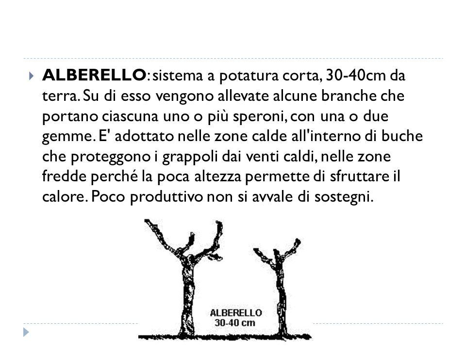  ALBERELLO: sistema a potatura corta, 30-40cm da terra. Su di esso vengono allevate alcune branche che portano ciascuna uno o più speroni, con una o