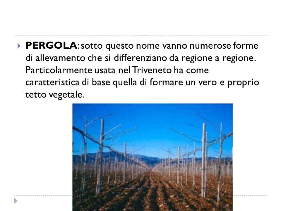  PERGOLA: sotto questo nome vanno numerose forme di allevamento che si differenziano da regione a regione. Particolarmente usata nel Triveneto ha com