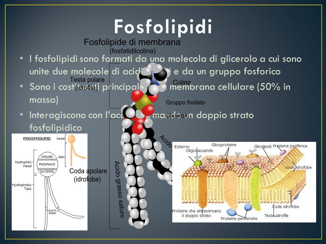 I fosfolipidi sono formati da una molecola di glicerolo a cui sono unite due molecole di acidi grassi e da un gruppo fosforico Sono i costituenti prin