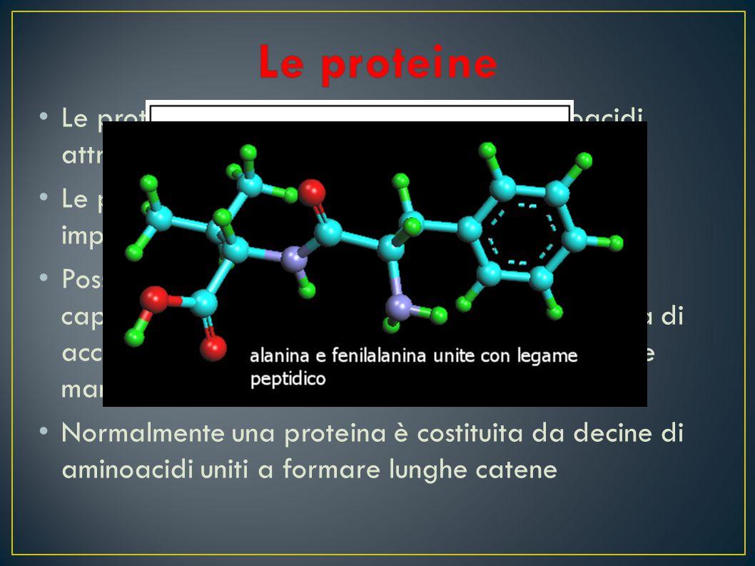 L e proteine si formano dall'unione di aminoacidi attraverso reazioni di condensazione L e proteine, dopo l'acqua, sono i costituenti più importanti d