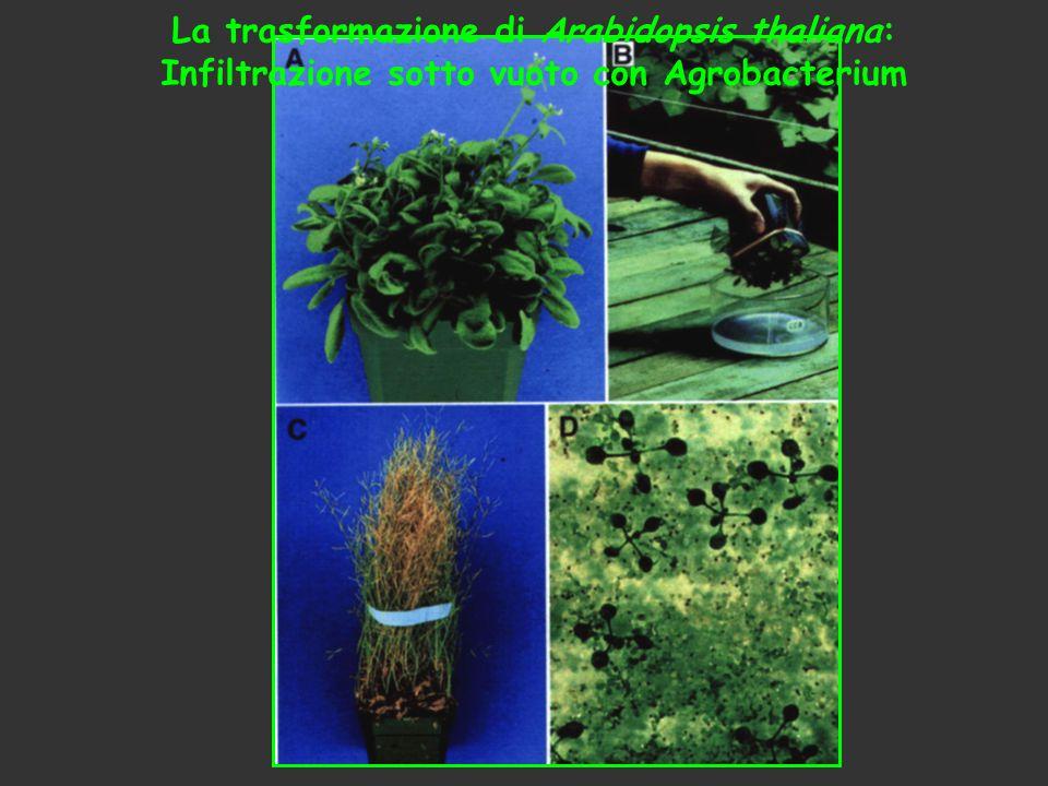 La trasformazione di Arabidopsis thaliana: Infiltrazione sotto vuoto con Agrobacterium